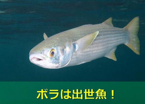 呼び名】ボラは実は出世魚!基本情報も掲載! | 水槽レンタル神奈川 ...